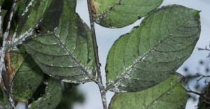 Scale on leaves